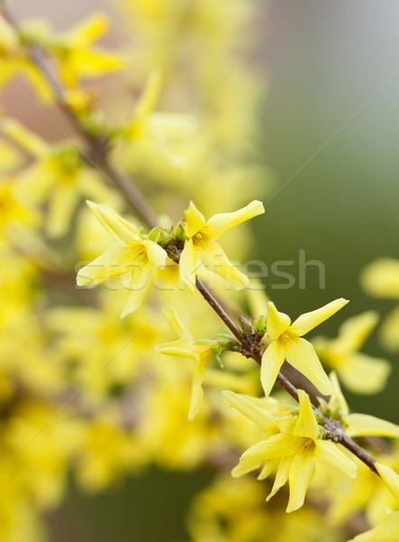 цветок Blossom весны цветы дерево Сток-фото © courtyardpix
