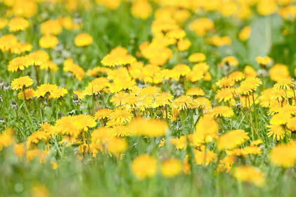 Mező pitypang virágzó fű tavasz virág Stock fotó © courtyardpix
