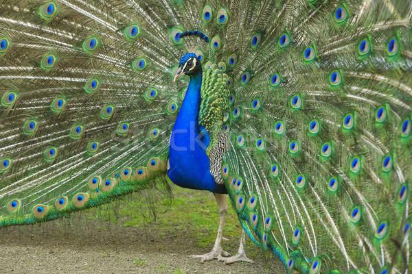 Homme paon queue belle coloré Photo stock © courtyardpix