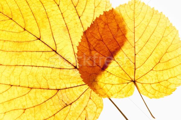 Közelkép ősz izolált fehér textúra természet Stock fotó © courtyardpix