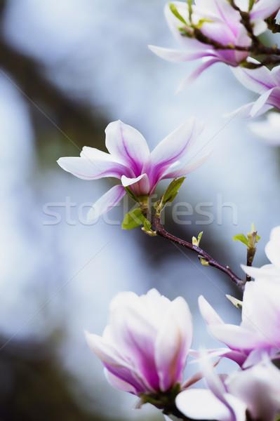 Manolya çiçek çiçek bahar Stok fotoğraf © courtyardpix