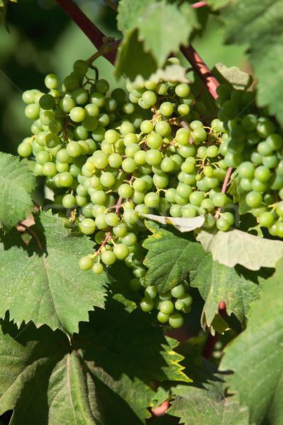 wine grapes Stock photo © courtyardpix
