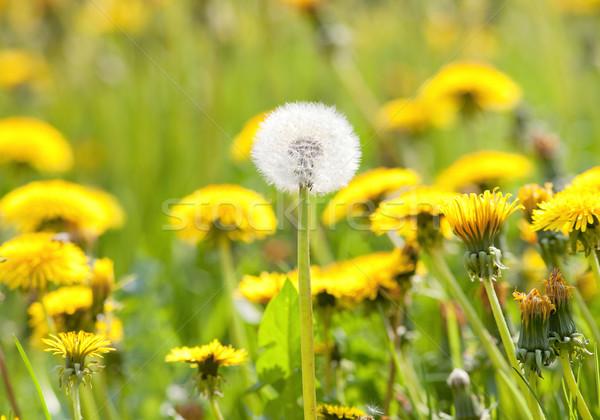 Alan karahindiba çim bahar çiçek Stok fotoğraf © courtyardpix