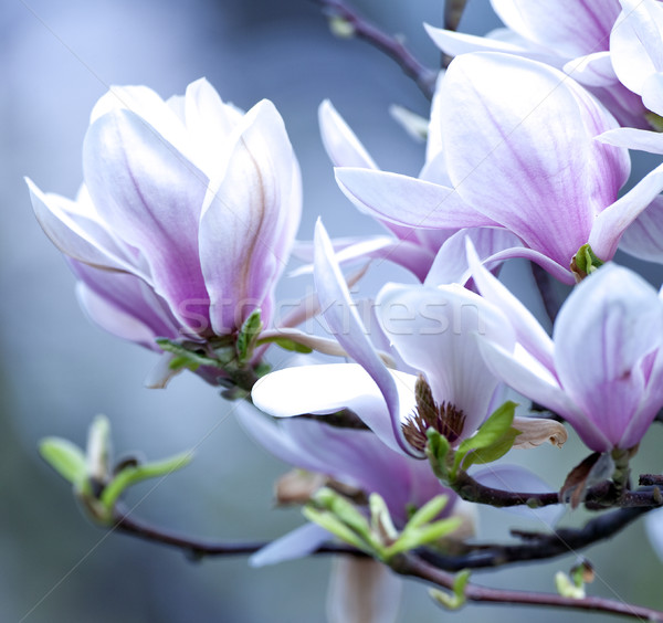 Closeup of Magnolia Flower at Blossom  Stock photo © courtyardpix