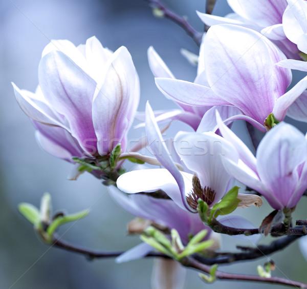 Közelkép magnolia virág virág tavasz Stock fotó © courtyardpix