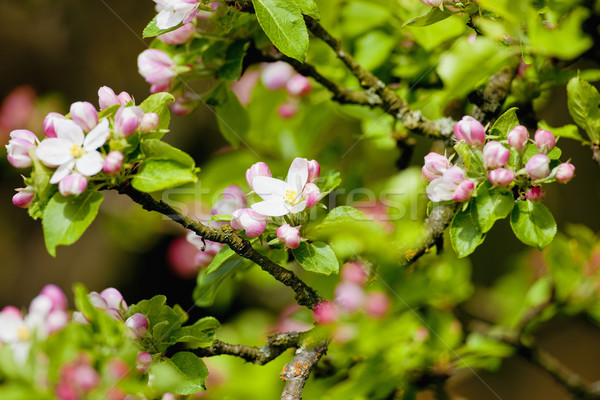 Apple Tree in Blossom at Springtime Stock photo © courtyardpix