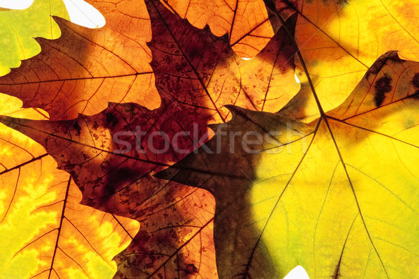 Closeup of Different Autumn Leaves Stock photo © courtyardpix