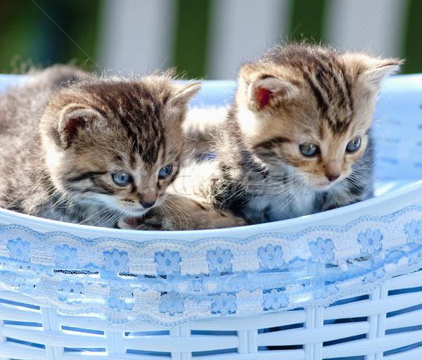 Kittens Lying in a Basket Outdoors Stock photo © courtyardpix