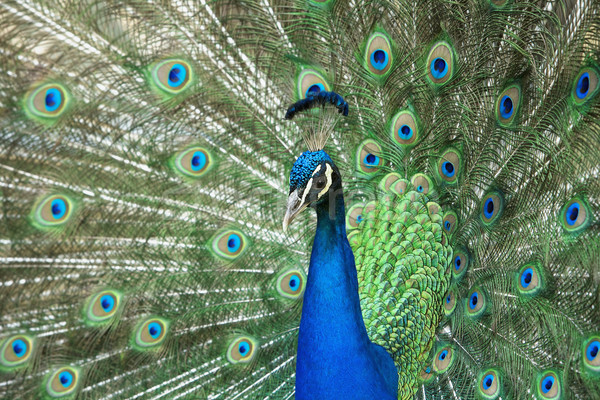 male peacock with tail feathers spread Stock photo © courtyardpix