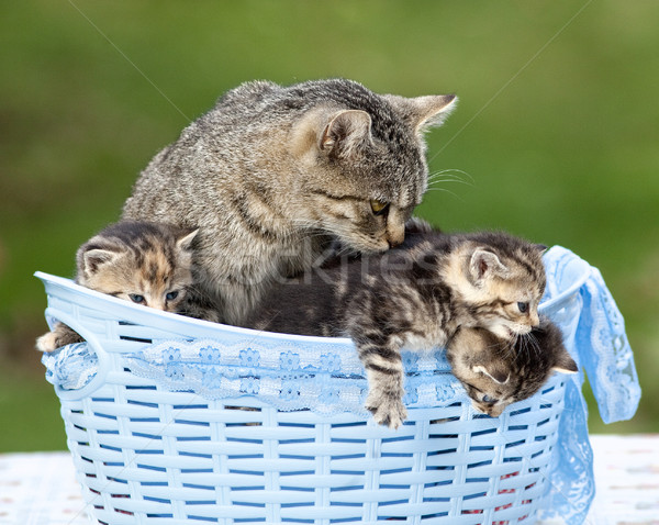 Cat and her Kittens Lying in a Basket Stock photo © courtyardpix