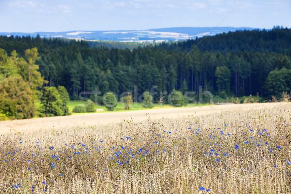 Dziedzinie pszenicy kwiaty niebieski gospodarstwa kolor Zdjęcia stock © courtyardpix