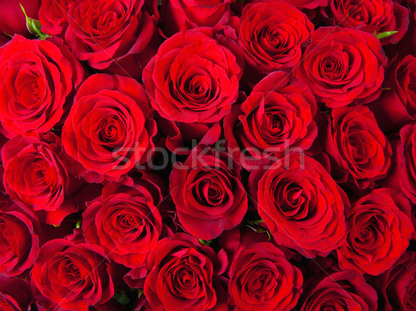 Roses rouges fleurs nature roses couleur Photo stock © courtyardpix