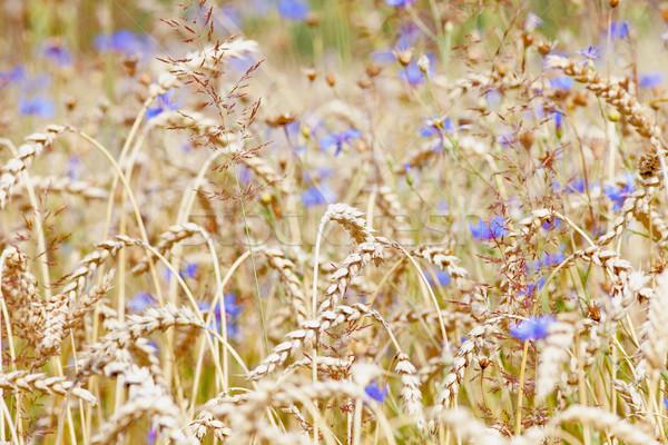 Mező búza virág természet kék farm Stock fotó © courtyardpix