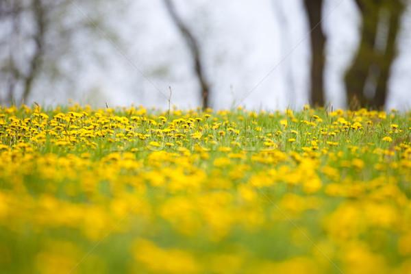 Mező virágzó pitypangok tavasz virág tavasz Stock fotó © courtyardpix