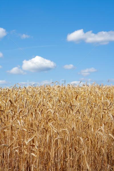 Dziedzinie żyto zbiorów Błękitne niebo gospodarstwa pszenicy Zdjęcia stock © courtyardpix