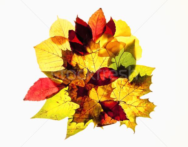 Közelkép különböző őszi levelek izolált fehér fa Stock fotó © courtyardpix