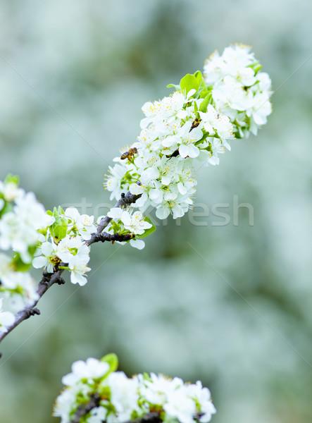 Közelkép cseresznye virág virág tavasz virágok Stock fotó © courtyardpix