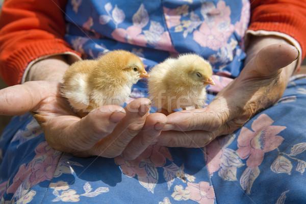 Manos pollo edad campesino Foto stock © courtyardpix
