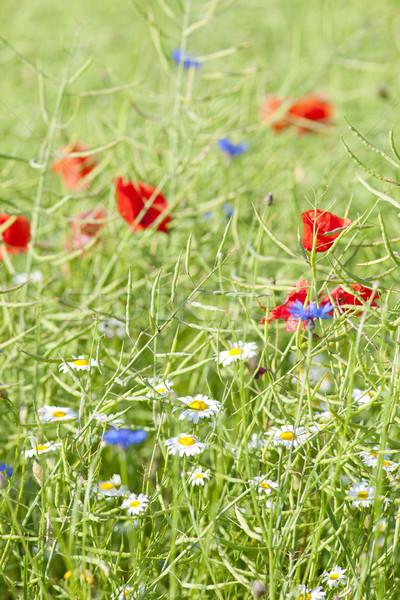 Vad virágok legelő tavasz virágok szépség növény Stock fotó © courtyardpix