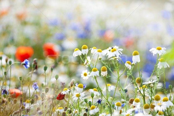 Flores silvestres abundância prado primavera tempo Foto stock © courtyardpix