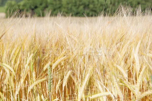 Landbouw veld rogge voedsel natuur zomer Stockfoto © courtyardpix