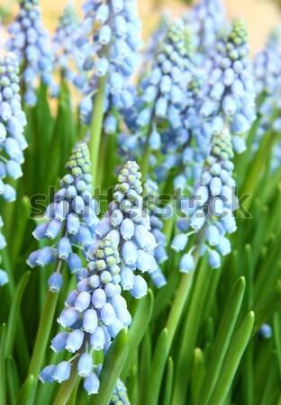 Hyacinthus orientalis Stock photo © cozyta