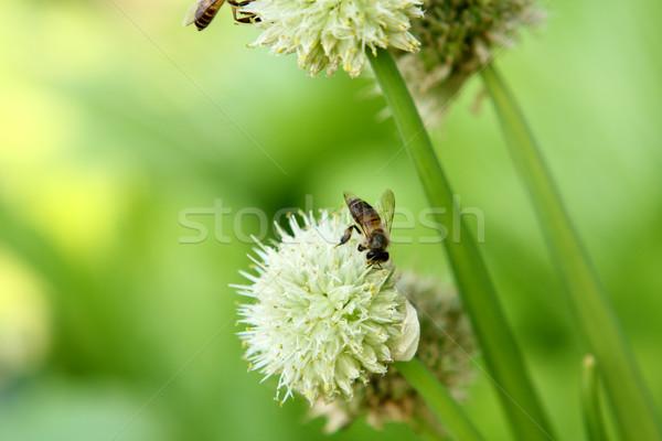 Stock foto: Frühlingszwiebeln · Blume · Zwiebel · andere · Blumen · Textur