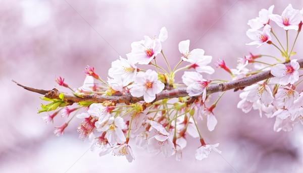 Sakura bloesem bloem tuin schoonheid Stockfoto © cozyta