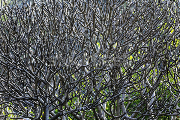 Close Up of tree branches without leaves die a horrible drought. Stock photo © cozyta
