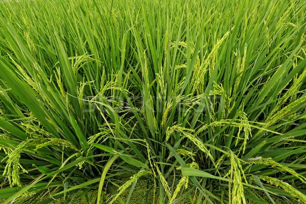 Rijstveld water tuin boerderij chinese witte Stockfoto © cozyta