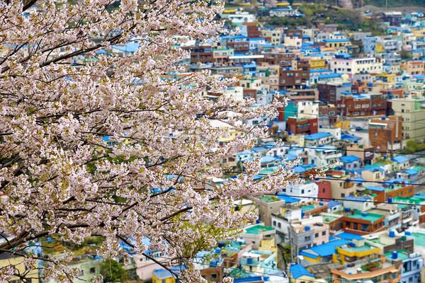 Sakura tree at Gamcheon Culture Village, Busan Stock photo © cozyta