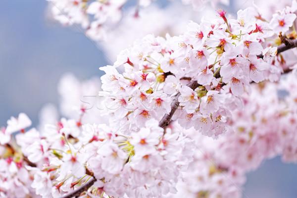 Stock photo: Sakura blossom