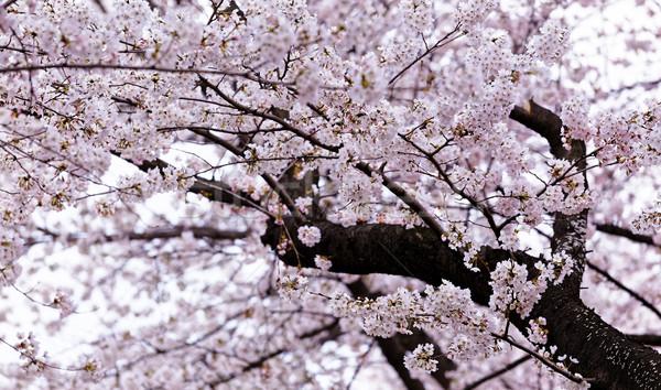 Florescimento sakura rosa flores tiro Foto stock © cozyta