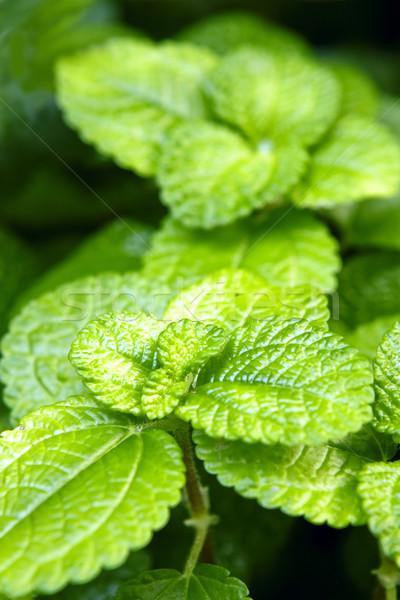 fresh green leaves Stock photo © cozyta