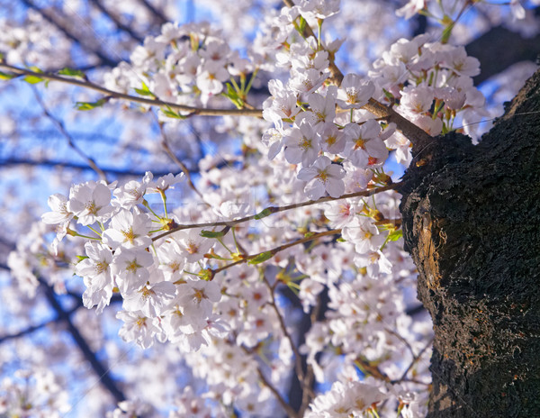 Appelboom veel bloemen blauwe hemel Stockfoto © cozyta