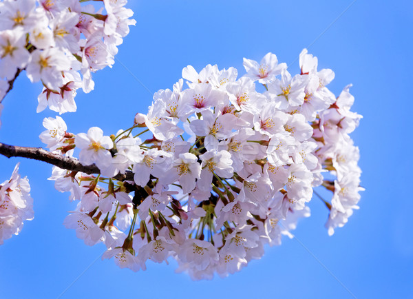 Branches of blooming apple tree with many flowers over blue sky Stock photo © cozyta