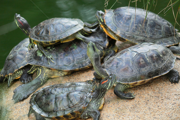Group of red-eared slider turtles sitting on a stone in the zoo  Stock photo © cozyta
