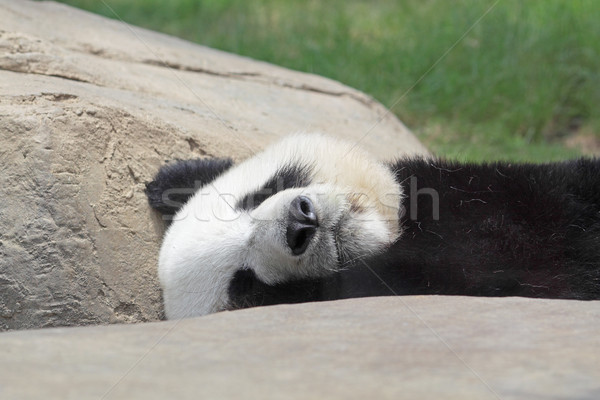 Sleeping Panda  Stock photo © cozyta