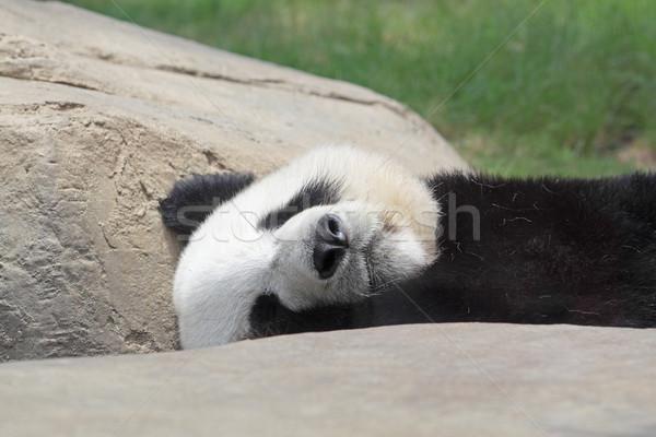 Uyku panda siyah dişler genç bambu Stok fotoğraf © cozyta