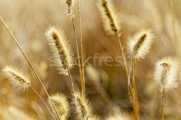 Yellow silvergrass Stock photo © cozyta