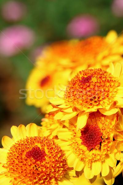 yellow flower  Stock photo © cozyta