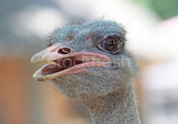 close-up on a ostrich's head Stock photo © cozyta