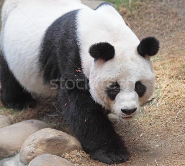 Giant panda bear walking  Stock photo © cozyta
