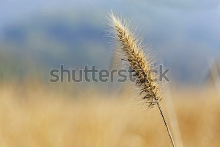 silvergrass over the mountain in autumn  Stock photo © cozyta