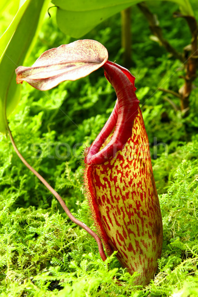Nepenthe tropical carnivore plant  Stock photo © cozyta