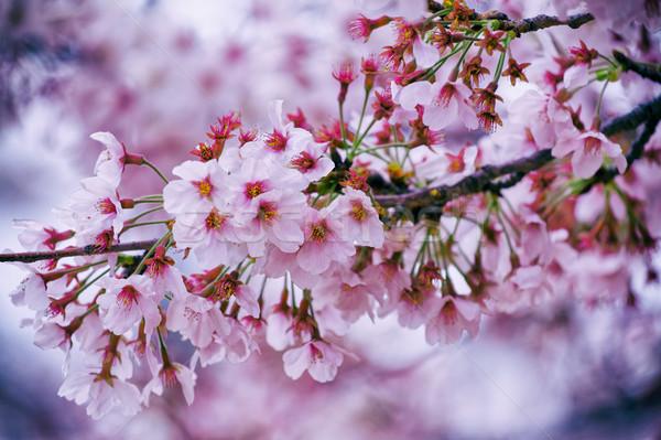 Bella fiore di ciliegio sakura cielo fiore Foto d'archivio © cozyta