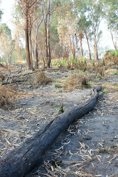 charred trunks of trees after fire  Stock photo © cozyta