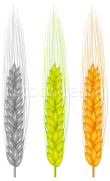 Color ear wheat  Stock photo © creatOR76