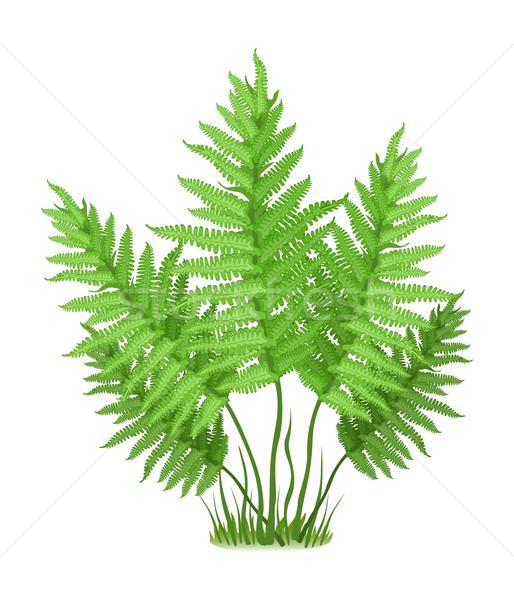 Varen plant familie witte gras bos Stockfoto © creatOR76