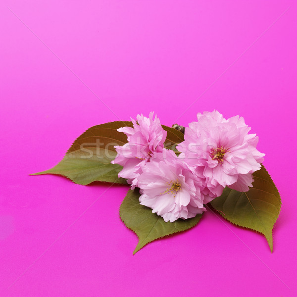 Flor de cereja cereja flor rosa superfície Foto stock © crisp